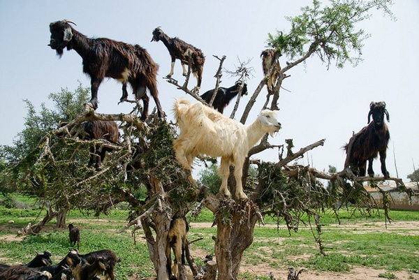 Coffee was Discovered by Goats